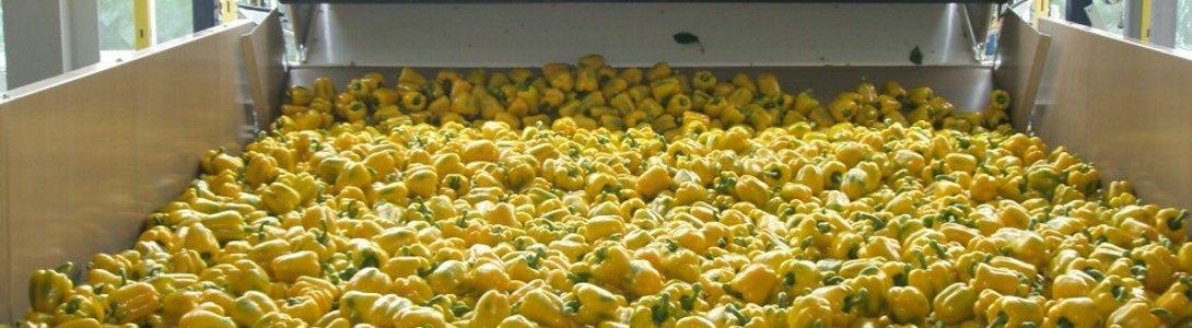De paprika's worden door onszelf gesorteerd, verpakt en vol automatisch gepalletiseerd.